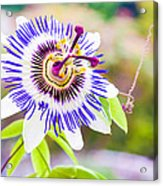 Passiflora Or Passion Flower Acrylic Print