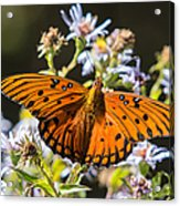 Passion Butterfly Acrylic Print