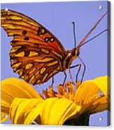 Passion Butterfly On The Mexican Sunflower Acrylic Print