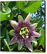 Passion Flower 1 Acrylic Print