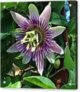 Passion Flower 4 Acrylic Print