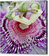 Passion Flower In Bloom Acrylic Print