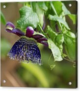 Passion Flower - Ruby Glow Acrylic Print