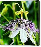 Passion Flower Acrylic Print
