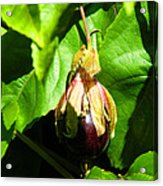 Passion Fruit 10-18-13 By Julianne Felton Acrylic Print