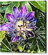 Passion Fruit Flower Acrylic Print