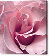 Passion Pink Rose Flower Acrylic Print