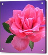 Passionate Pink Acrylic Print