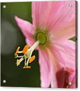 Passionflower Acrylic Print by Jacqui Collett
