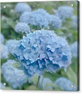 Pastel Blue Hydrangea Acrylic Print