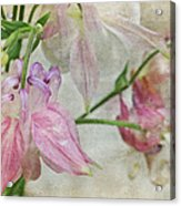 Pastel Columbines Acrylic Print