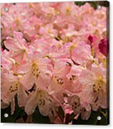 Pastel Coral Azaleas Refreshed By The Rains Acrylic Print