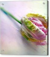 Pastel Parrot Tulip Acrylic Print