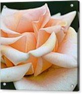 Pastel Peach Rose Acrylic Print