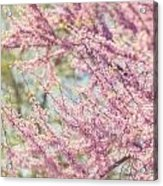 Pastel Pink Flowers Of Redbud Tree In Springtime  Acrylic Print