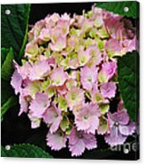 Pastel Pink Hydrangea Acrylic Print
