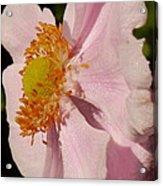 Pastel Pink Mallow Acrylic Print