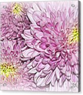 Pastel Pink Mums Acrylic Print
