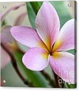 Pastel Pink Plumeria Acrylic Print