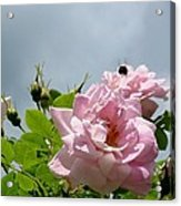 Pastel Pink Roses With Bee Acrylic Print