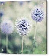 Pastel Purple Allium Bulbs Acrylic Print