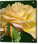 Pastel Rose Ruffles Acrylic Print