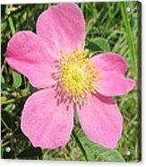Pasture Rose Rosa Carolina Acrylic Print