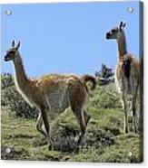 Patagonian Guanacos Acrylic Print