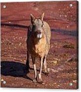 Patagonian Mara Acrylic Print