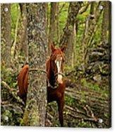 Patagonian Packhorse Acrylic Print
