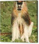 Patas Monkey Erythrocebus Patas  Acrylic Print