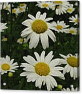 Patch Of Daisies Acrylic Print