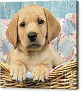 Patchwork Puppy Dp793 Acrylic Print by Greg Cuddiford