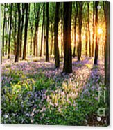 Sunrise Path Through Bluebell Woods Acrylic Print