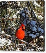 Patient Cardinal Acrylic Print