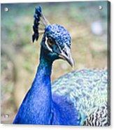 Pavo Cristatus II Indian Blue Peacock Acrylic Print