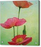 Pavots crescendo Acrylic Print
