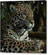 Paws Of A Jaguar Acrylic Print