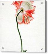 Field Poppy Acrylic Print