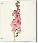 Foxglove Acrylic Print
