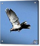 Peace Acrylic Print