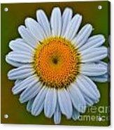 Peace Daisy Acrylic Print