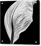 Peace Lily IIi Acrylic Print