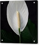 Peace Lily Acrylic Print