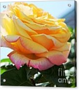 Peace Rose Kissed By The Sun Acrylic Print