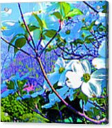 Peaceful Dogwood Spring Acrylic Print