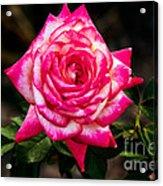 Peaceful Rose Acrylic Print