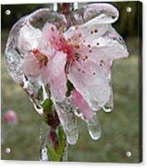 Peach Blossom In Ice Acrylic Print
