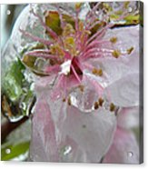 Peach Blossom In Ice Two Acrylic Print