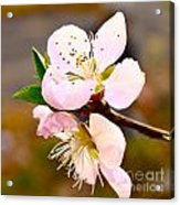 Peach Blossoms 1 Acrylic Print